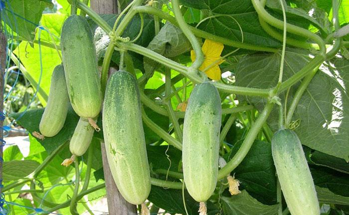 Cây dưa chuột trồng mùa hè rất tốt