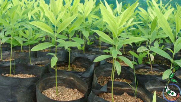 Đàn hương là cây có giá trị kinh tế rất caov