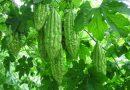 Cách trồng mướp đắng trong chậu sai trĩu quả