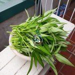 Rau sạch thu hoạch từ mô hình aquaponics