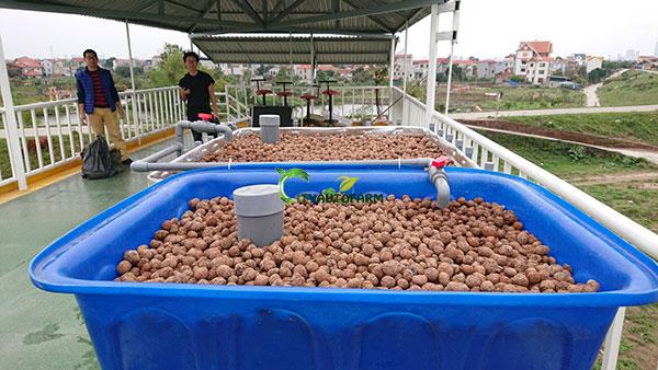 Hệ Aquaponics trồng rau nuôi cá Cb+1 tại Đông Anh