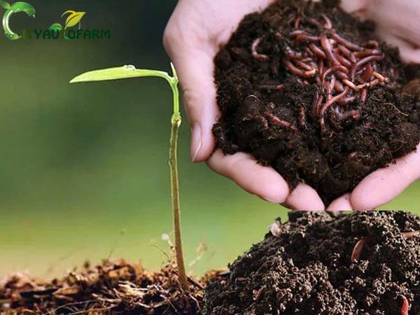 Phân trùn quế là loại phân hữu cơ rất tốt cho cây trồng